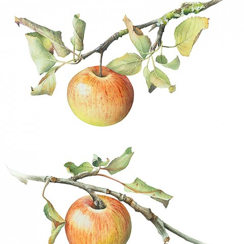 Windfall Apples by Cheryl Wilbraham