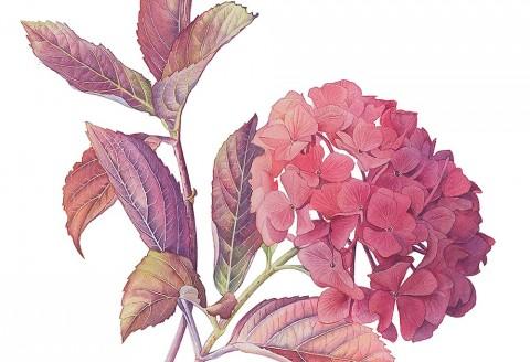 Autumn Hydrangea by Cheryl Wilbraham