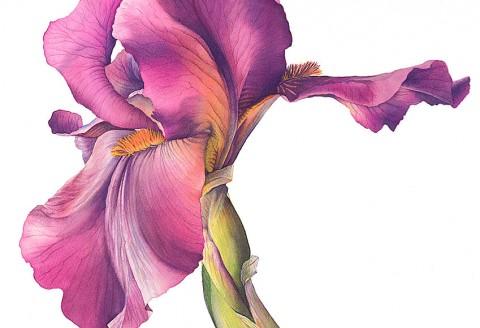 Iris 'Langport Wren' by Cheryl Wilbraham