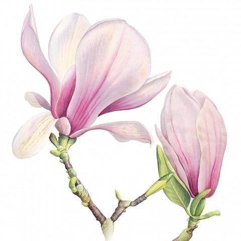Magnolia Soulangeana by Cheryl Wilbraham