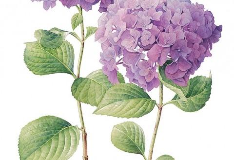 Hydrangea by Cheryl Wilbraham
