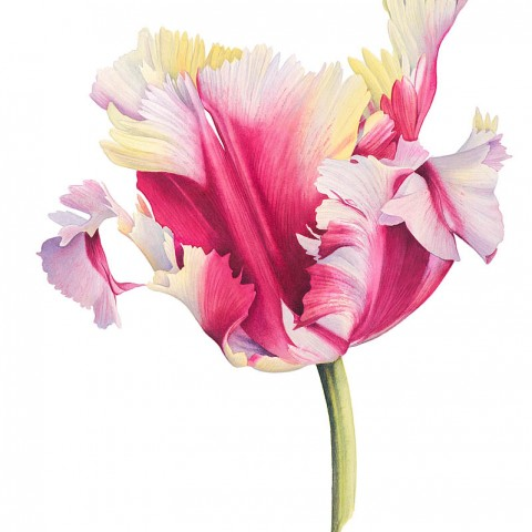 Tulip 'Flaming Parrot' by Cheryl Wilbraham